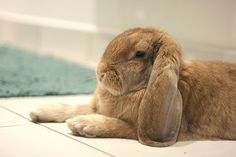 Beautiful french lop.
