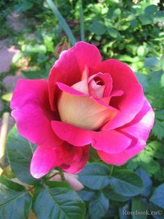 Develop A The Moment Upon A Dream Fairy Tale Birthday Bash Rose Kronenbourg Flaming Peace, Hybrid Tea, Mc Gredy 1966 Beautiful Roses, Beautiful Flowers, Ronsard Rose, Types Of Roses, Growing Roses, Hybrid Tea Roses, Love Rose, Watercolor Rose, My Secret Garden