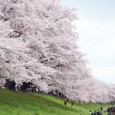 桜の写真 沢山あるのに全然載せきれてない   Location:#背割堤 #京都 #kyoto  #しえのぶらり京都旅 #オールドレンズ #オールドレンズ部 #ヘリオス #土曜日の小旅行 #team_jp_春色2016 #team_jp_西 (京都) #wu_japan(京都) #igersjp #ig_japan #icu_japan #picture_to_keep #team_jp_ #lovers_nippon #loves_nippon #ptk_japan #jpn_archive #japan_daytime_view #far_eastphotography #hueart_life #as_archive #likesphotogram #phos_japan by miniaki1123