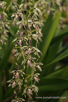 Prosthechea prismatocarpa, as pictured on the Writhlington Orchid Project's…
