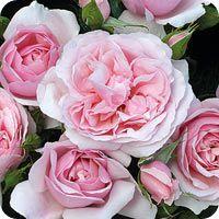 The Natasha Richardson Rose (Rose)