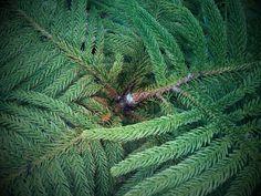 Baby Pine