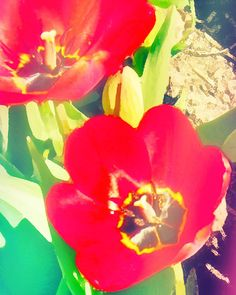jazzy tulip too