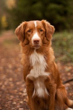 A Nova Scotia duck tolling retriever in the lane. Photo by Antti Korpela. #toller