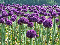 Los Allium son plantas de exquisita belleza, tanto en las flores como en las hojas. Estas plantas son fáciles de cultivar, los bulbos vienen en una amplia