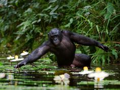 A bonobo, a close relative of the chimpanzee, collecting water lilies by Sergey Uryadnikov