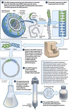 Making of a DNA vaccine: One application of recombinant DNA technology is in the production of vaccines. Recombivax HB is an approved Hepatitis B vaccine developed using rDNA technology. Biology Lessons, Teaching Biology, Cell Biology, Molecular Biology, Vintage Clipart, Antigen Presenting Cell, Recombinant Dna, Dna Facts, Pseudo Science