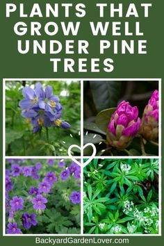 If you need plants that can grow under pine trees, you'll be pleasantly surprised to see this list. You can grow some beautiful flowers, that not only look good, but some even smell good. You have options of flowers, shrubs and cover grounds. Take a peek Plants Under Trees, Trees To Plant, Growing Flowers, Planting Flowers, Flower Gardening, Gardening Tips, Container Gardening, Organic Gardening, Kitchen Gardening