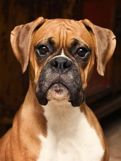 An encyclopedic study about Boxer dog.Read about latest boxer dog health solutions and tips.Make your boxer healthy. Boxer Dog Breed, Boxer Puppies, Dogs And Puppies, Doggies, Boxer Dogs Facts, Yorkie Puppies, Dogs 101, Retriever Puppies, Labrador Retriever