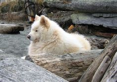 The #Samoyed is a breed of dog that originates from Siberia. Its name is derived for that of the Samoyedic peoples of #Siberia. These dogs were bred to herd reindeer and pull sleds. Find out more at: http://impressivemagazine.com/2013/10/24/samoyed-loyal-siberian-breed/