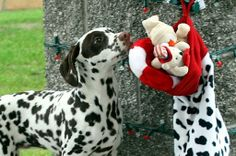 dalmatian with a christmas socking | to Z Dalmatians: Lessons: How to Open Your Christmas Stocking