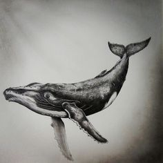 #Humpback #Whale underwater in graphite and charcoal by Kerry Jane