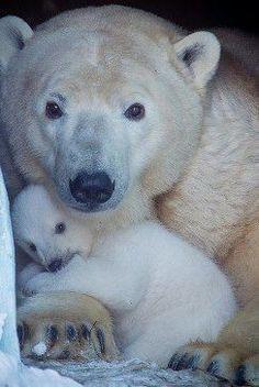 New baby animals cuddling polar bears Ideas Baby Polar Bears, Cute Polar Bear, Penguins And Polar Bears, Cute Baby Animals, Animals And Pets, Wild Animals, Tier Fotos, Cute Animal Pictures, Animal Photography