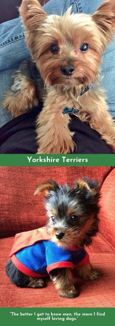 """Find out more relevant information on """"yorky puppies"""". Have a look at our site. Toy Yorkshire Terrier, Yorkshire Terrier Haircut, Yorshire Terrier, Pitbull Terrier, Silky Terrier, Yorkie Puppy, Teacup Yorkie, Teacup Puppies, Toy Puppies"""