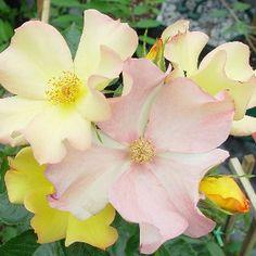 Flutterbye Climbing Rose