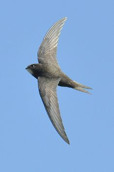 Common Swift | Common Swift Weston Sewage Works May 2009