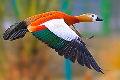 Asian Duck Species | ... :Warty Muscovy DuckWhite Duck in the SnowWhite Faced Whistling Duck