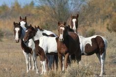 Wild horses, Amargosa Desert, Nevada