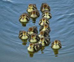 Mallard Duck Chicks