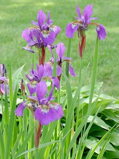 Siberian Iris blooms at the end of spring. Its thin, grassy foliage and slender blossoms give it graceful elegance. Although bearded irises require good drainage, Siberian and Japanese irises will grow in shallow standing water or poorly drained soil. Name: Iris sibirica selections