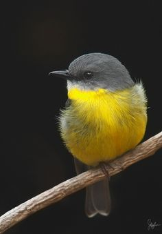Eastern yellow robin by Jeffrey Lee