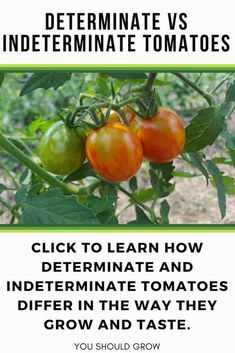 Tomatoes Gardening For Beginners Growing tomatoes? You need to know the difference between determinate and indeterminate tomatoes. Become an expert on the different types of tomatoes with this guide. Gardening For Beginners Growing Tomatoes From Seed, Growing Tomato Plants, Types Of Tomatoes, Growing Tomatoes In Containers, Growing Vegetables, Grow Tomatoes, Baby Tomatoes, Dried Tomatoes, Gardening Vegetables