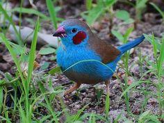 The red-cheeked cordon-bleu or red-cheeked cordonbleu (Uraeginthus bengalus) is a small passerine bird. Exotic Birds, Colorful Birds, Pretty Birds, Beautiful Birds, Bird Wings, Bird Pictures, Little Birds, Small Birds, Fauna