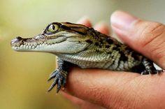 August: Siamese Crocodiles