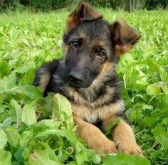 Výsledek obrázku pro štěně německého ovčáka