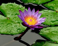 The lotus flower: this flowers struggles to make its way through the mud from the bottom of a pond until finally reaching the surface to bloom