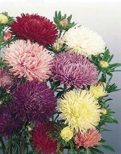 https://www.tokopedia.com/accesoriesseeds/benih-seeds-bibit-flower-callistephus-chinensis-powder-puff-aster-wildflower-wildflowerblue-rare-beatuiful-and-unique