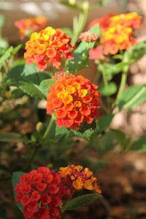 Lantana  flowers in full bloom
