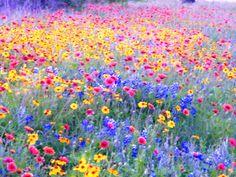 Wildflowers South Texas