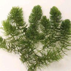 live plants for aqariums and  ponds Ceratophyllum Demersum 1.5 cup Hornwort