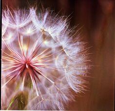 dandelion by stephcarter, via Flickr