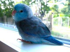 my next bird...Pacific Blue Parrotlet