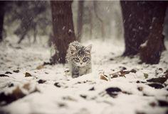 'los gatos monteses'