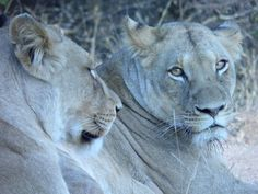 Lions at Kapama Rest Camp