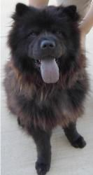Chancho is an adoptable Chow Chow Dog in Ventura, CA. Breed: Chow Chow (purebred) Age: est 2/7/2010 Gender: Male Coat: long Altered: yes Size: medium Color(s): black-red Description: ***Needs a Foster...