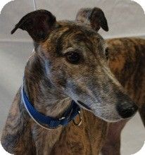 Swanzey, NH - Greyhound. Meet Dakota a Dog for Adoption.