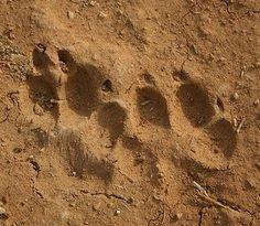 Coyote tracks and domestic dog tracks.