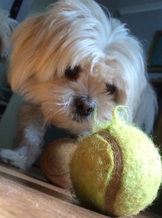 Gizmo, ball obsessed pekingese maltese cross