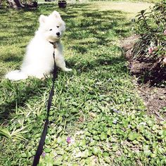 Luna the Samoyed | N