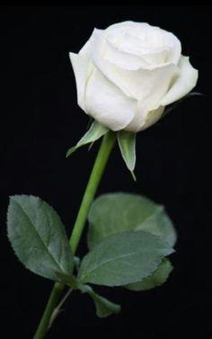 253 Best Single Rose Images Rose Single Rose Beautiful Roses