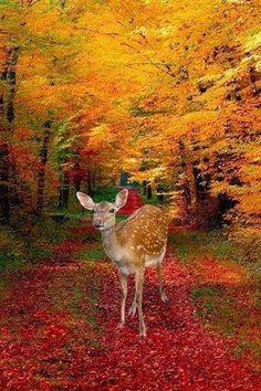 Autumn reds & golds in the country… deer Foto Nature, Image Nature, Beautiful World, Animals Beautiful, Cute Animals, Autumn Scenes, Oh Deer, Fall Pictures, Jolie Photo