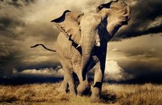 Slon v Botswane. Alex Bernasconi
