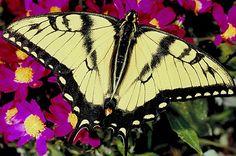 tigar swallowtail