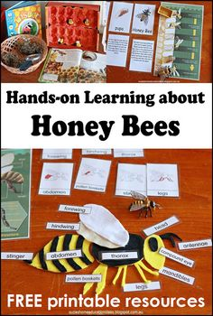 Hands-on learning about Honey Bees - FREE PRINTABLE Montessori Inspired Life Cycle cards and Honey Bee Anatomy Template plus book suggestions.