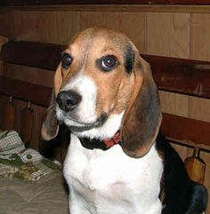 If this were my beagle, I would name it Ned because it looks like an old boyfriend.