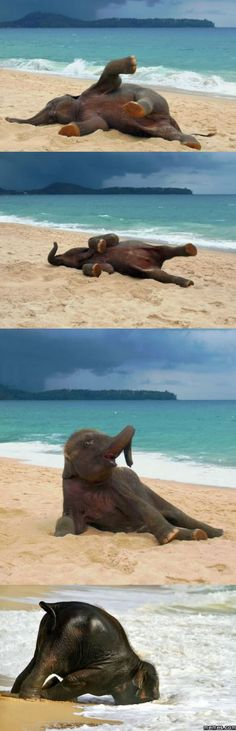 Baby elephant's first time at the beach.